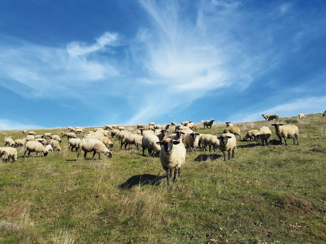 Rieden - Schafe auf der Weide