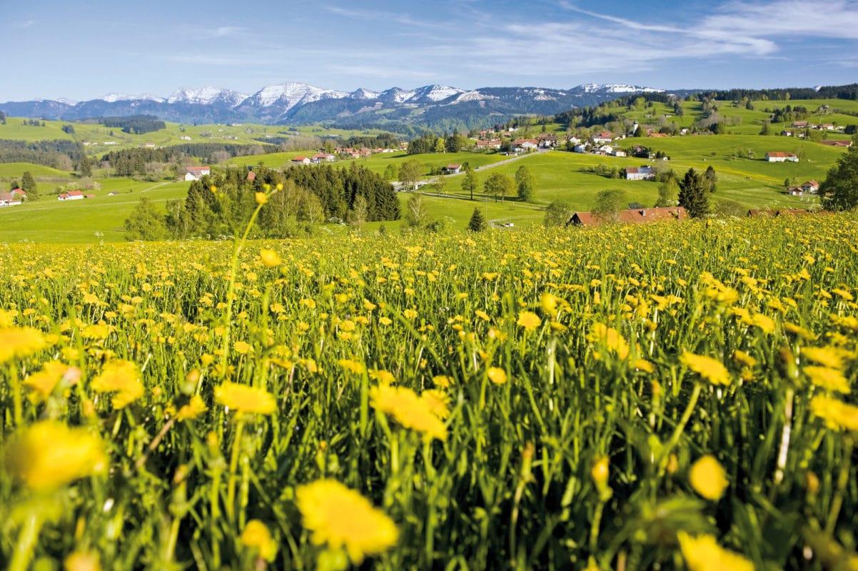 Röthenbach Löwenzahnwiese mit Bergblick