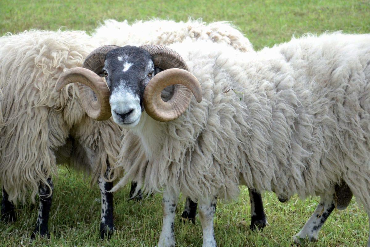 Schaf- und Handarbeitstag (Bauernhaus-Museum Wolfegg)